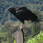"""Black Vulture"" (Coragyps atratus) is a bit smaller and not as good a flyer as its cousin, the ""Turkey Vulture"" (Cathartes aura), whose head is red instead of black. Black Vultures and Turkey Vultures are common in Costa Rica this one was alongside the road on the slopes of Volcán Turrialba"