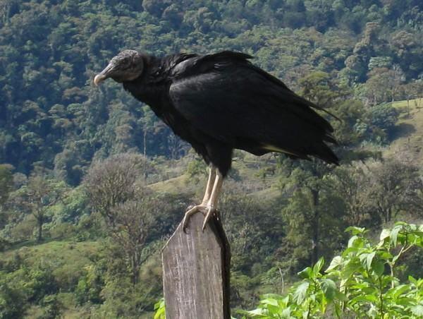 """""""Black Vulture"""" (Coragyps atratus)"""