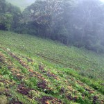 Carrots and other vegetables are common crops in the cooler climate of the slopes of Volcán Turrialba