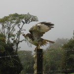 Roadside hawk on the way to Volcán Turrialba - possibly immature red tailed hawk (Bueto jamaicensis) or immature broadwing hawk or it could actually even literally be a Roadside Hawk (Buteo magnirostris). If you know contact us and let us know!