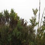 Dwarf bamboo along the sendero mirador Volcán Turrialba National Park