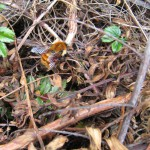 Big bee (size of the end of my thumb) along the upper portion of the crater trail, Volcán Turrialba National Park