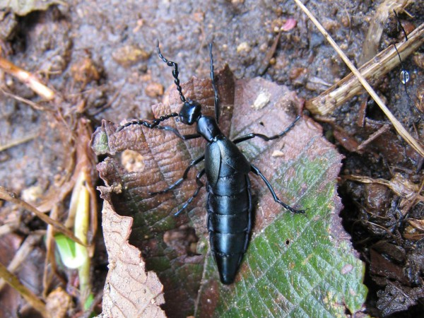 Blister beetle along the lower mirador spur trail in the main crater, Volcán Turrialba National Park