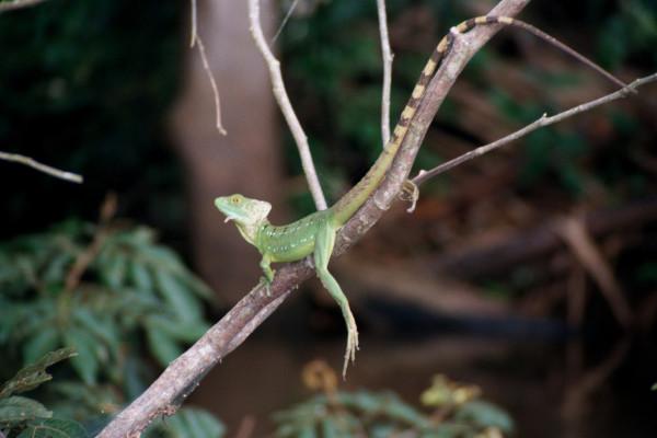 Basilisk, Basiliscus basiliscus Spanish-Chisbala