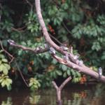 Southern Rough-winged Swallows, Stelgidopteryx ruficollis (Spanish - Golondrina Alirrasposa Sureña). Caño Negro National Wildlife Refuge.