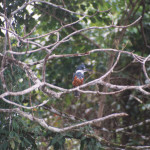 Ringed Kingfisher Ceryle torquata, (Spanish-Martín Pescador Collarejo). Perched on a branch overhanging the Frío river waiting for a fish to pass below.