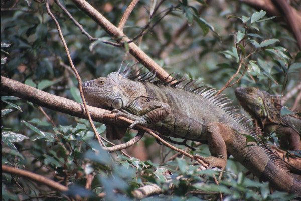 Green Iguana, Iguana iguana (Spanish - Garrobo). Green iguanas perch in trees, commonly over rivers and if startled or threatened they will launch themselves into the air tumbling 50 feet or more before splashing in and swimming to a safer roost.