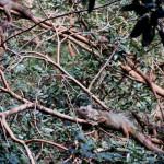 Green Iguana, Iguana iguana (Spanish - Garrobo).
