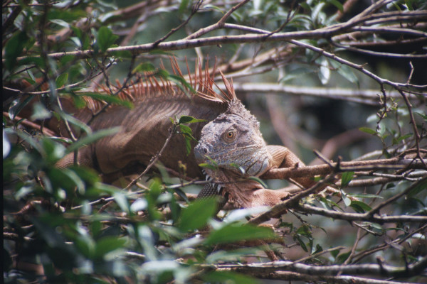Green Iguana, Iguana iguana (Spanish - Garrobo). Green iguanas are relatively easy to distinguish from their cousins the Ctenosaur or Iguana Negra because they have a much larger dewlap (the flap under the chin) and commonly hang out in trees like this one.
