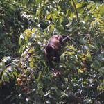 Mantled Howler Monkey, Alouatta palliata (Spanish-Mono Congo). Feeding on ripe figs.