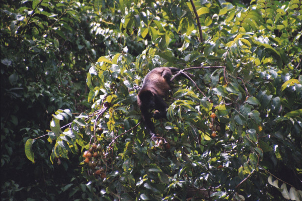 Mantled Howler Monkey Eating figs