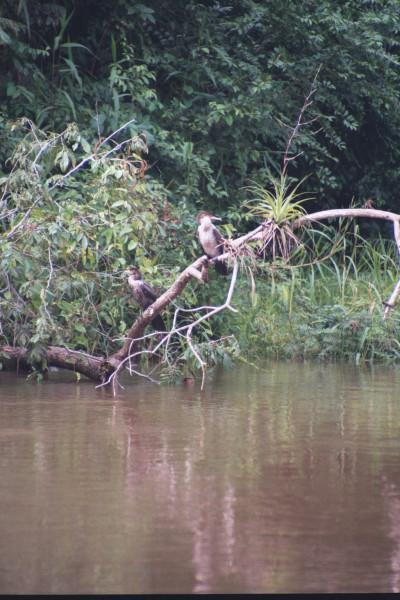 Olivaceous Cormorant