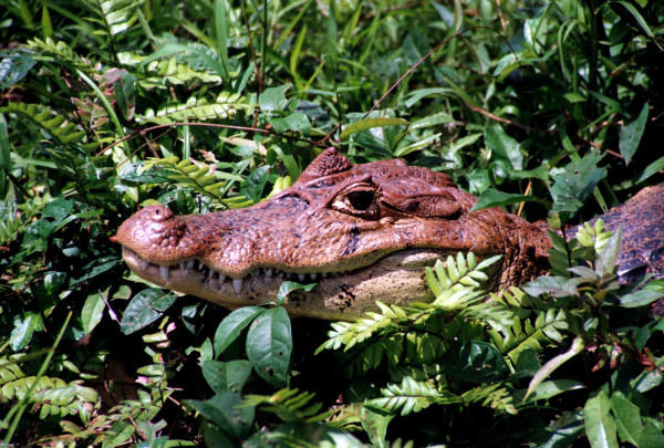Spectacled Caiman, Caiman crocodilus (Spanish-Lagarto, Cuajipalo or Guajipal). Lurking in the vegetation along the banks of the Río Frío in Caño Negro Wildlife refuge.