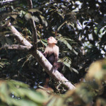 White-faced Capuchin, Cebus capucinus (Spanish - Mono Carablanca). The gregarious capuchins commonly follow hikers, scolding and even launching projectiles from the treetops.