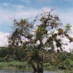 Gourd Tree, Crescentia alata (Spanish-Jícaro or Guacal).
