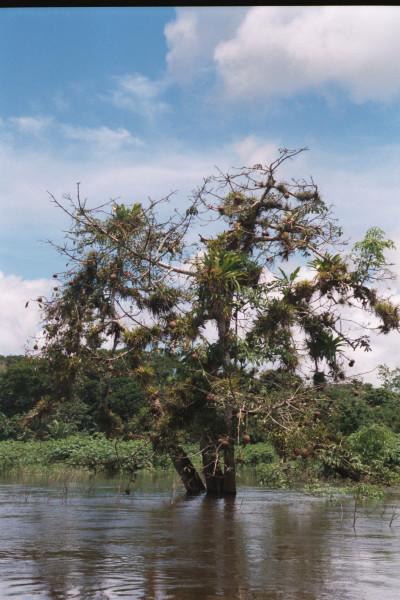 Gourd Tree, Crescentia alata