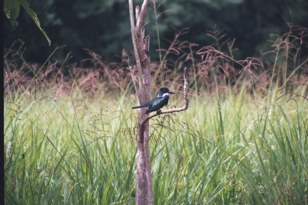 Belted Kingfisher, Ceryle alcyon