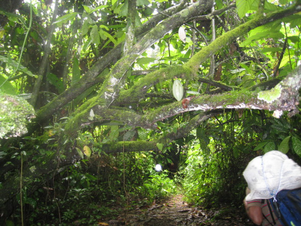 Through a coco plantation