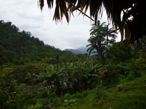 Coconut palms, bananas and yucca (casava) were planted in small patches all around the community