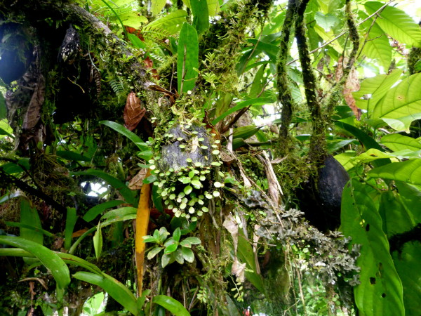 One of the last signs of civilization we saw were small cocoa plantations. They appeared abandoned and this pod well past ripe for harvest was covered in small epiphytes.