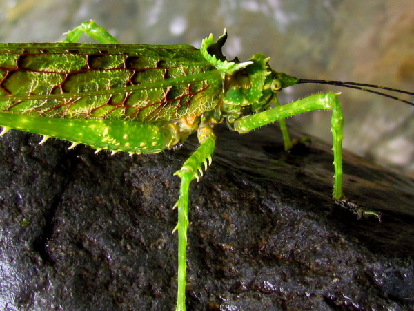 Katydid or grasshopper alongside the Rio Coen