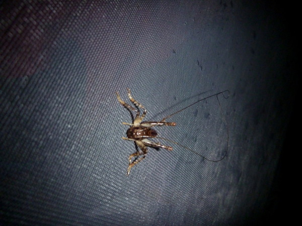 I have no idea how big bugs like this cricket ended up inside the tent