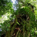 Epiphytes and vines on the trunk of a huge tree
