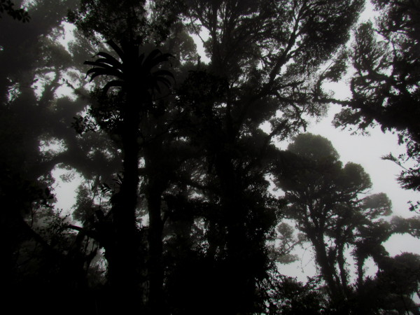 Ghostlike trees through the mist of the cloud forest - La Amistad