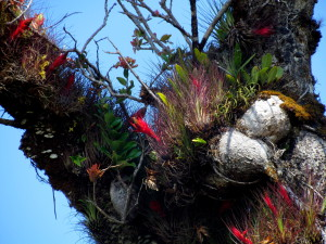 Garden of brilliantly colored epiphytes in the crotch of a tree.  Just by a quick count from the ground there are more than a dozen obviously different botanical species in this little aerial garden and a closer inspection would reveal many more plants as well as insects and maybe even a reptile, amphibian or mammal - La Amistad.