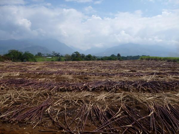 Freshly cut sugar cane