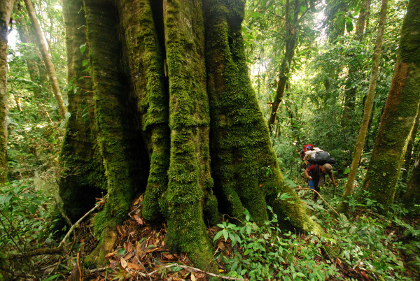 La Amistad International Peace park is one of the last refuges in the world for rainforest giants like this.