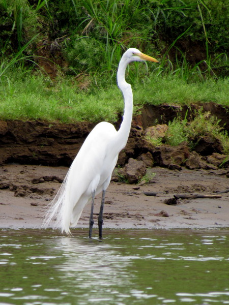 Great Egret, Casmerodius albus (Spanish - Garceta Grande). The largest all-white member of the heron family. Many of the Great Egrets at Caño Negro are permanent residents.