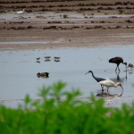 At least half a dozen different species in a single frame at Caño Negro Wildlife refuge
