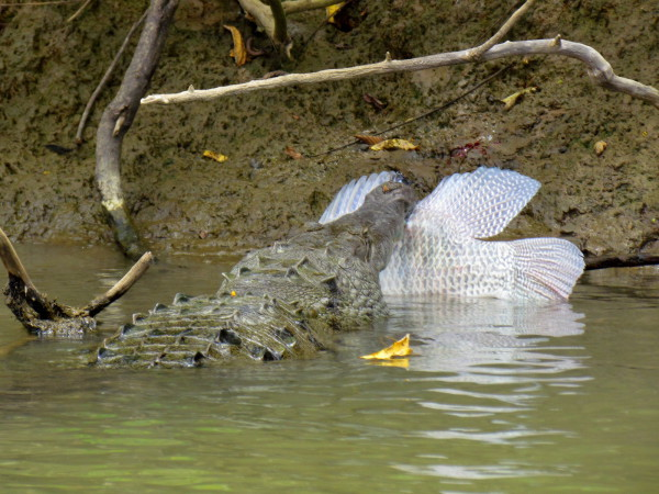 Crocodile with a Tilapia