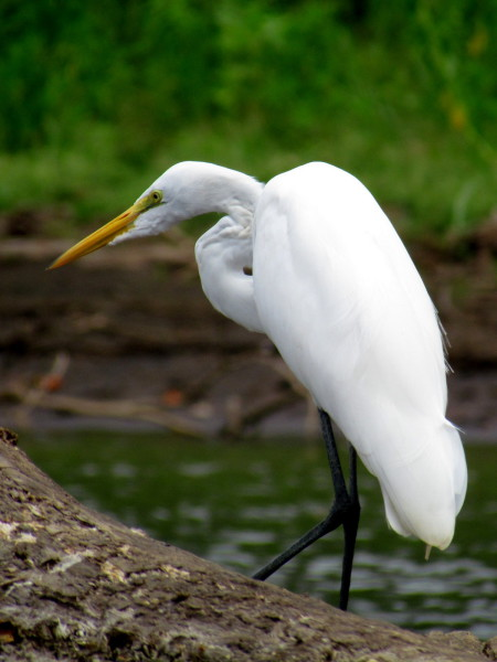 Great egret fishing in the Rio Frio