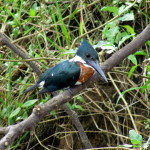 Kingfisher staring intently into the waters of the Rio Frio