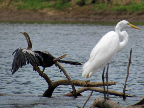 Anhinga and great egret