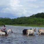 Hearding Cattle in Caño Negro