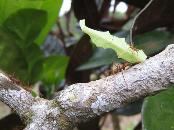 Leaf cutter ants, Zompopos, (Atta sp.)