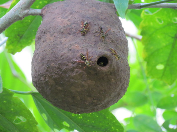 Mud wasps nest hanging from a branch along the Río Tigre on the Osa Peninsula