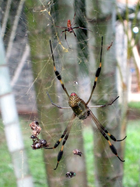 Male and female golden orb weaver spiders