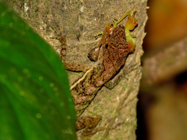Anole with a cricket in his mouth along the trail to the top of Diamante Waterfall near Dominical