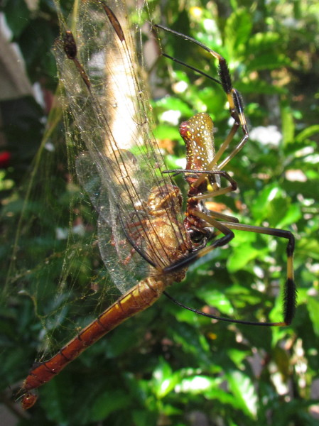 Golden Orb Weaver Spider with dragofly