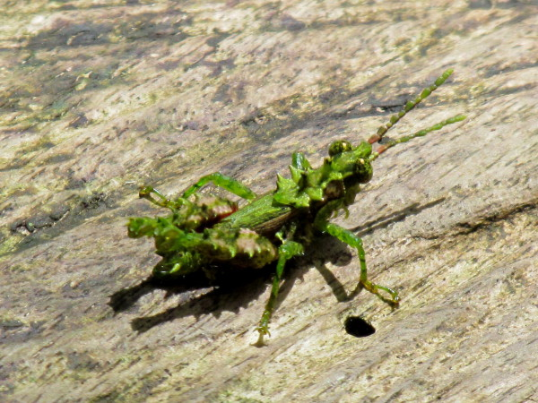 Tiny grasshopper, Cerro Chato trail near Arenal