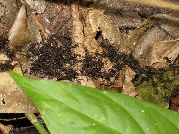 Army ants on the march in Cabo Blanco Wildlife refuge on the tip of the Nicoya Peninsula