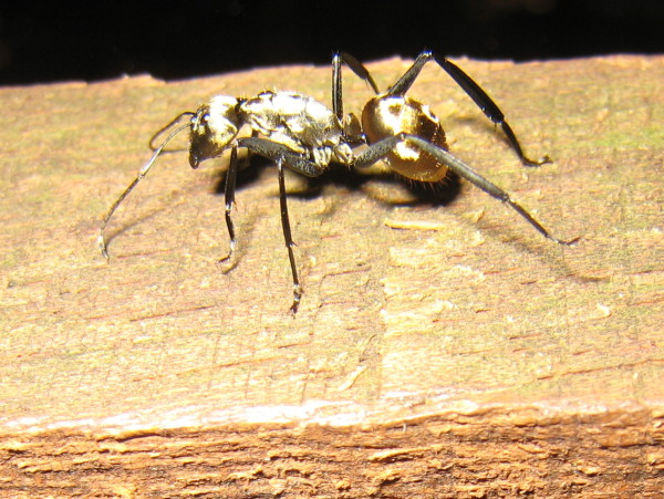 Golden Carpenter Ant (Camponotus sericeiventris)