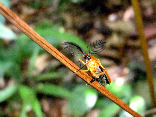 The only thing I could find that was close were the fire beetles in the pyrochroidae (schizotus ?) but these comb antenna seem way bigger