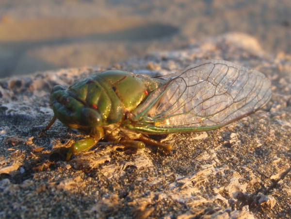 Cicada on driftwood Playa Barú