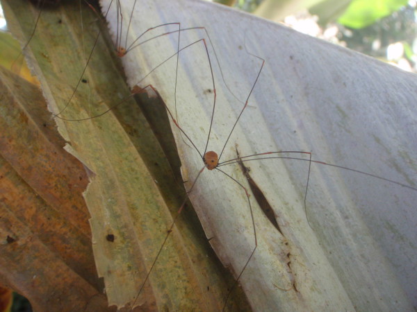 Harvestmen spiders (Opiliones) defend themselves by spraying caustic quinones and phenols. If this doesn't work they drop a couple of their legs for the predator to munch on while they make their escape
