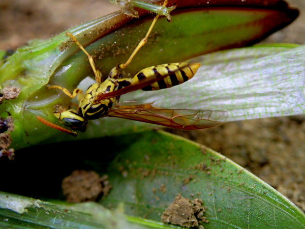 Wasp snacking on a dead katydid